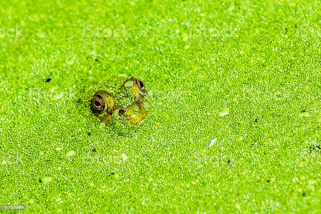 Frog in Duckweed stock photo
