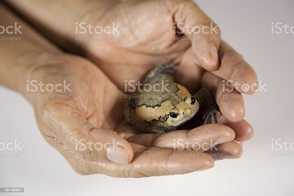 frog in hand royalty-free stock photo