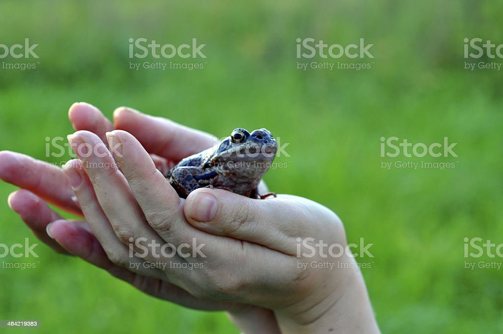 frog in his hands. stock photo