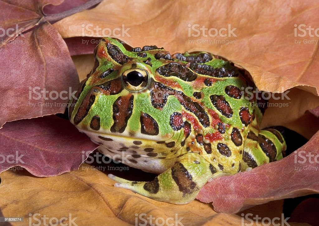 Frog In Leaves stock photo