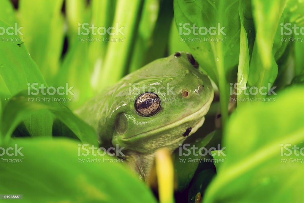 Frog in plants royalty-free stock photo