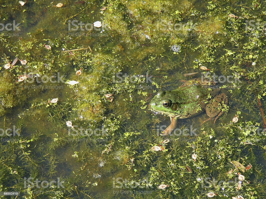Frog in Pond royalty-free stock photo