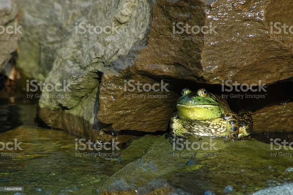 Frog in Rock royalty-free stock photo