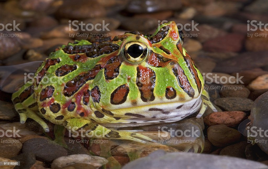 Frog In Rocky Pond stock photo