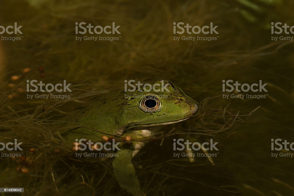 Frog in the pond in the garden. Selective focus stock photo