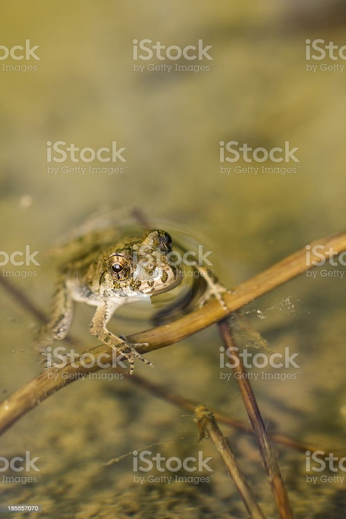 Frog in Water royalty-free stock photo