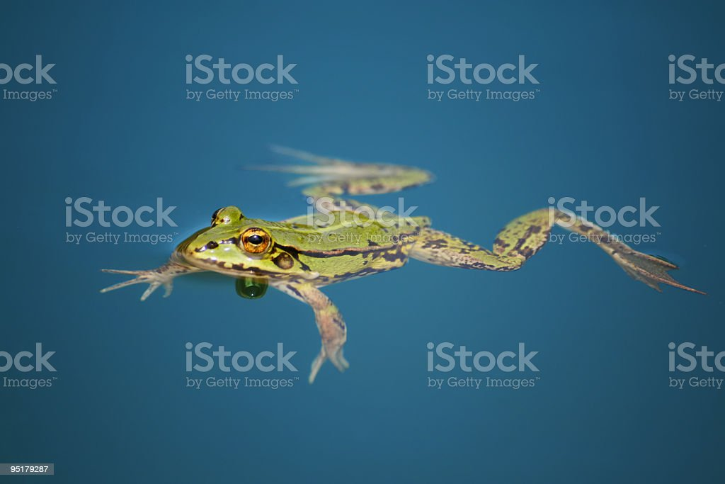 frog is swimming in the water royalty-free stock photo