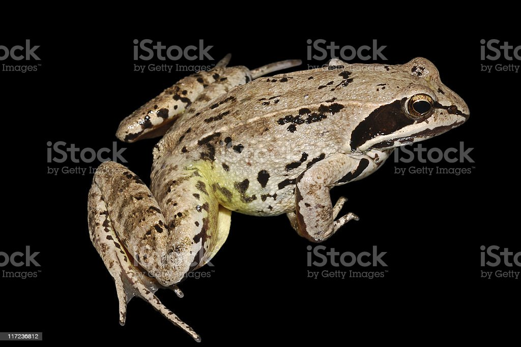 frog isolated on black royalty-free stock photo