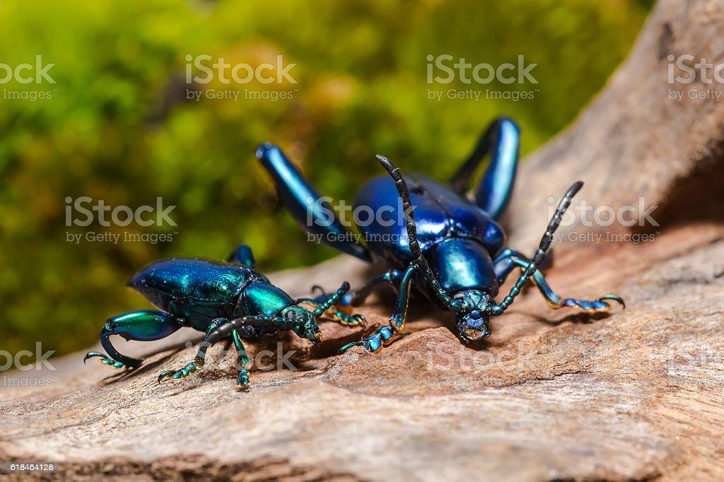 Frog Legged Leaf Beetle stock photo