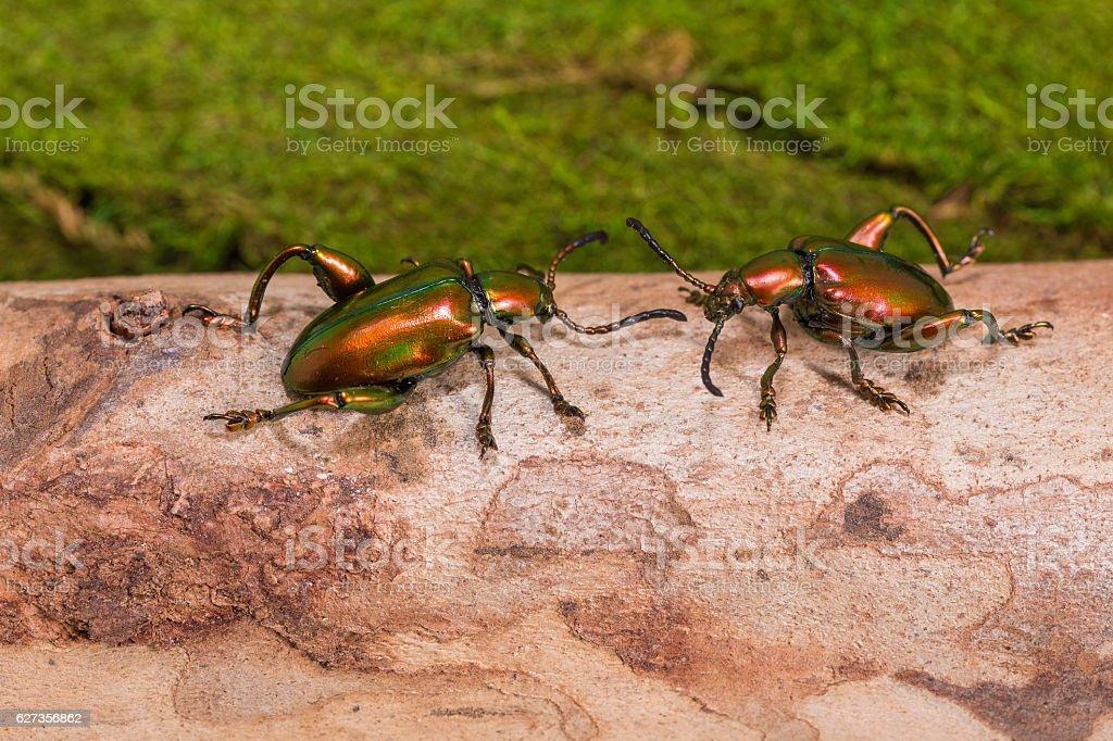 Frog Legged Leaf Beetle (Sagra buqueti) stock photo