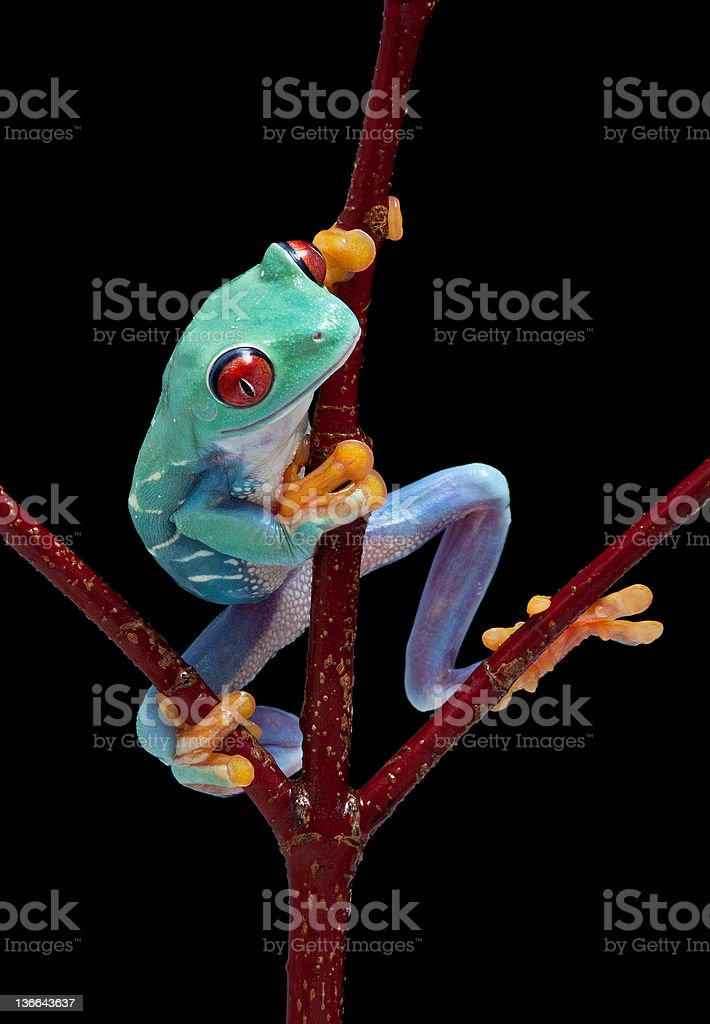 Frog looking around red vine stock photo