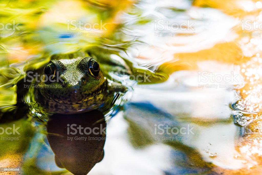 Frog Looking at me royalty-free stock photo