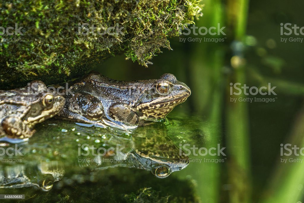 Frog on a green swamp stock photo
