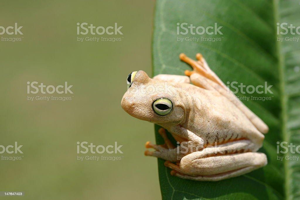 Frosch auf einem Blatt Lizenzfreies stock-foto