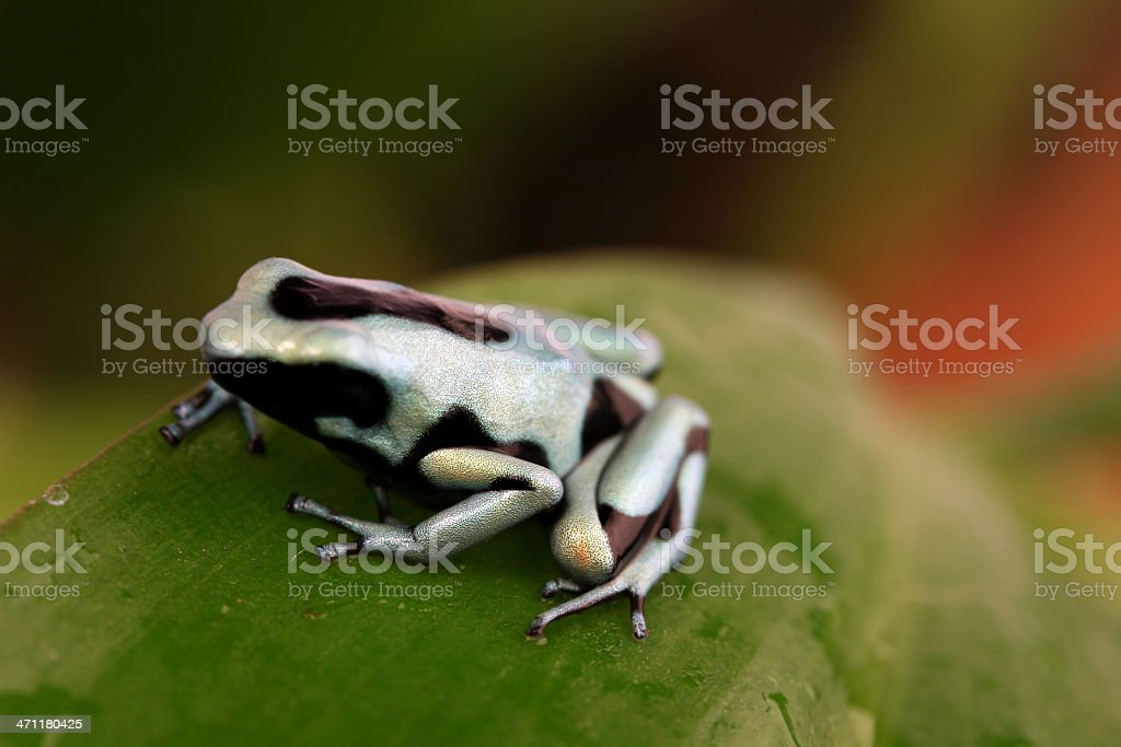 Frog on a leaf royalty-free stock photo