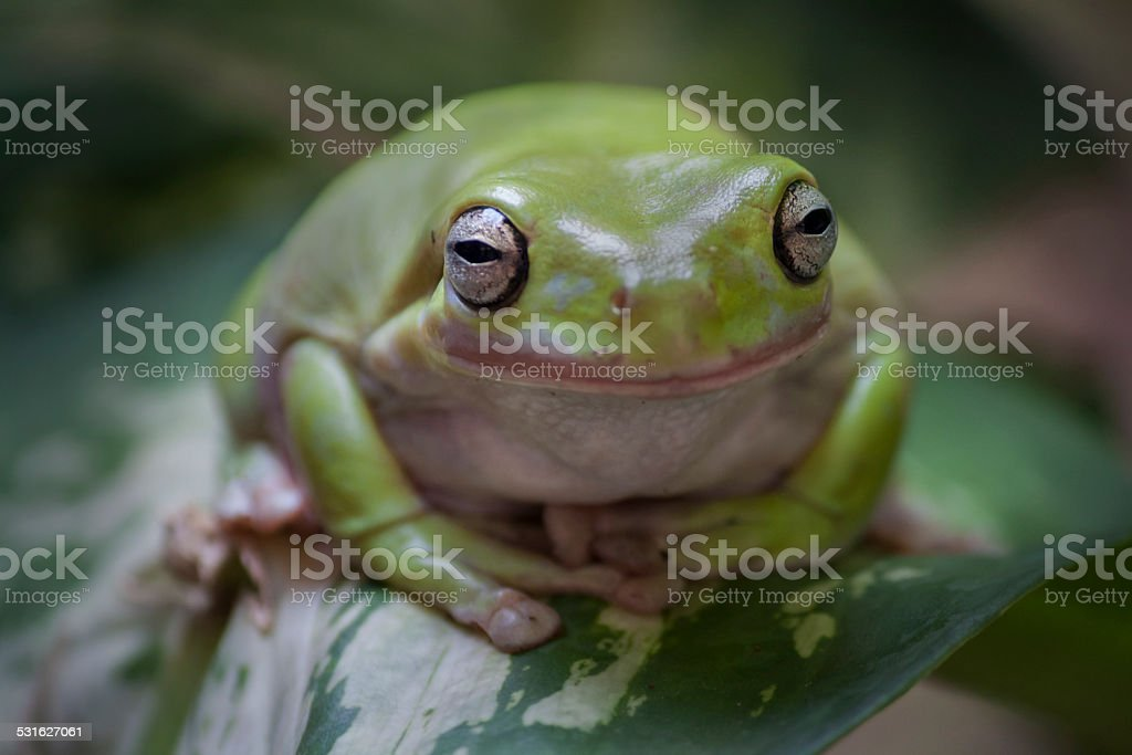 Frog on a leave stock photo