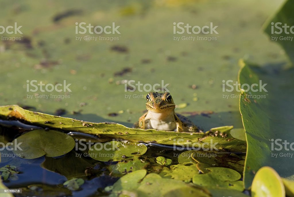 Frog on a Lilly Pad stock photo