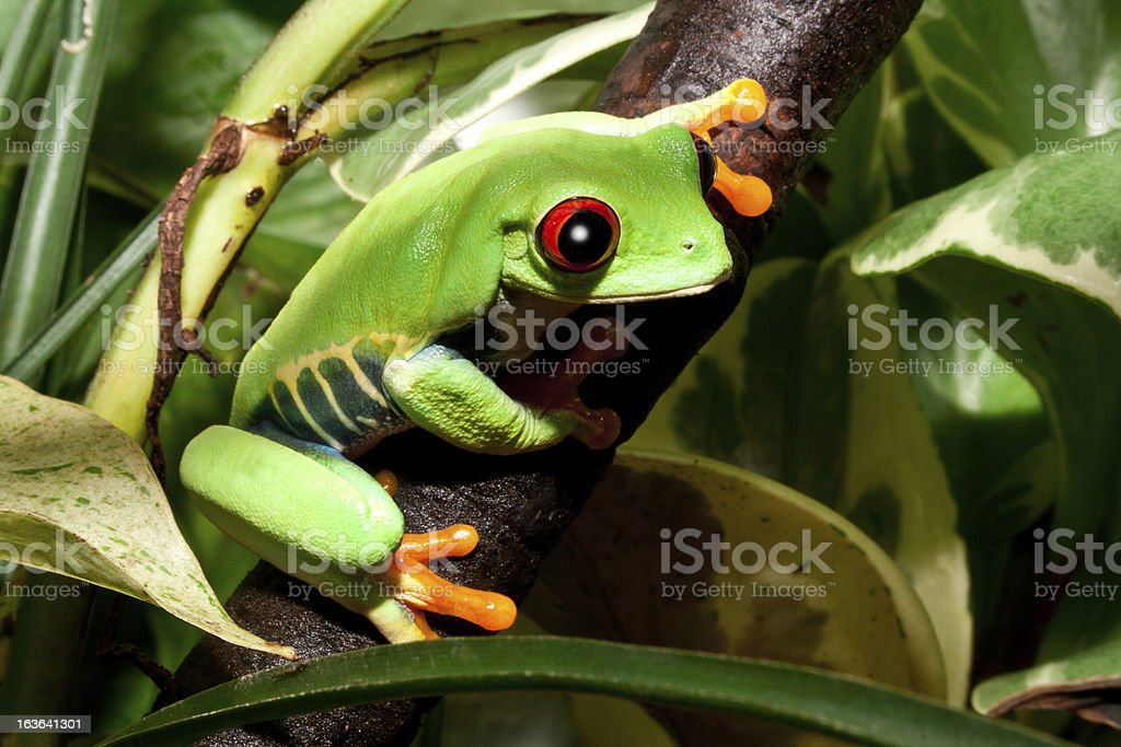 Frog on a stem in its natural environment royalty-free stock photo