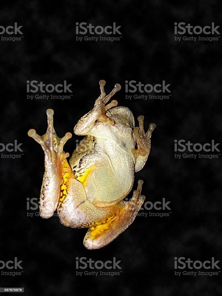 Frog on a Window at Night stock photo