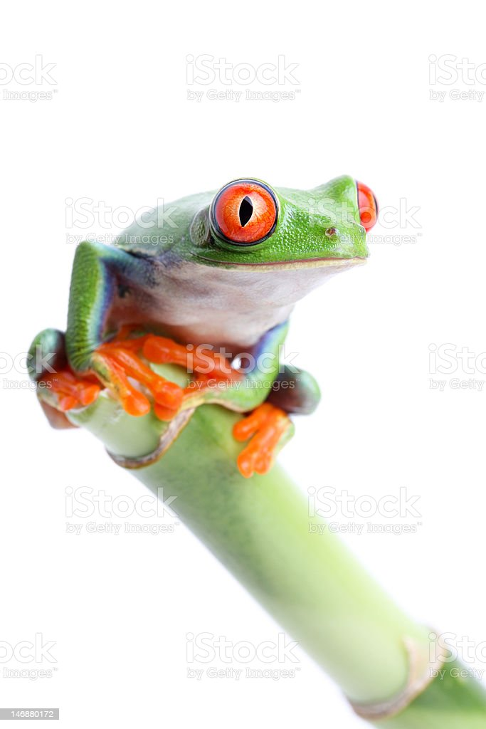 frog on bamboo royalty-free stock photo