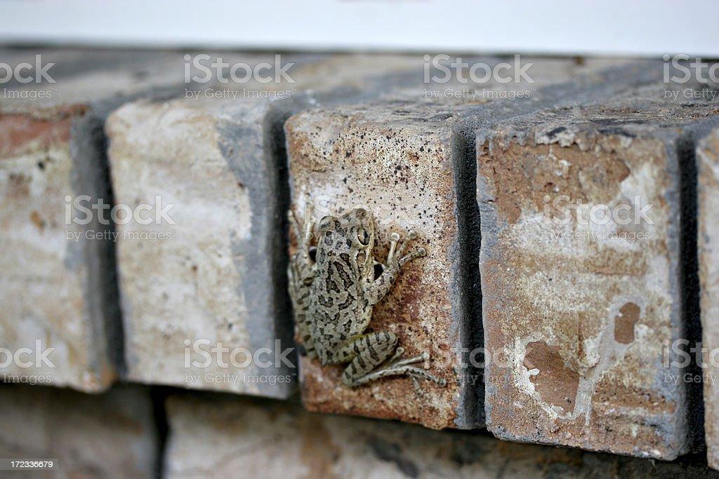 Frog on Bricks royalty-free stock photo