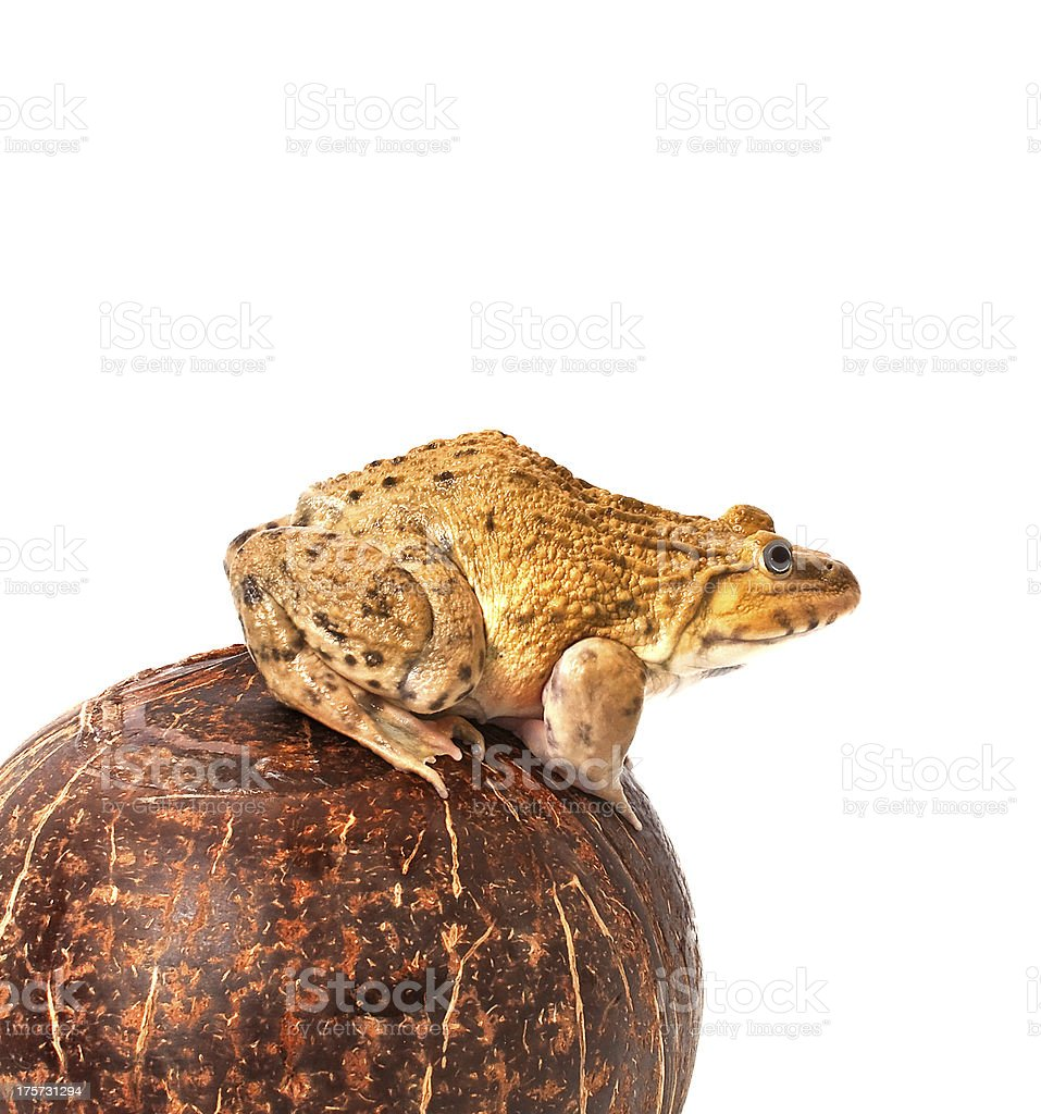 frog on coconut shell royalty-free stock photo