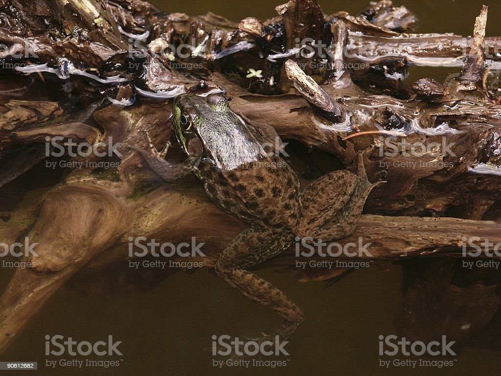 Frog on Driftwood stock photo