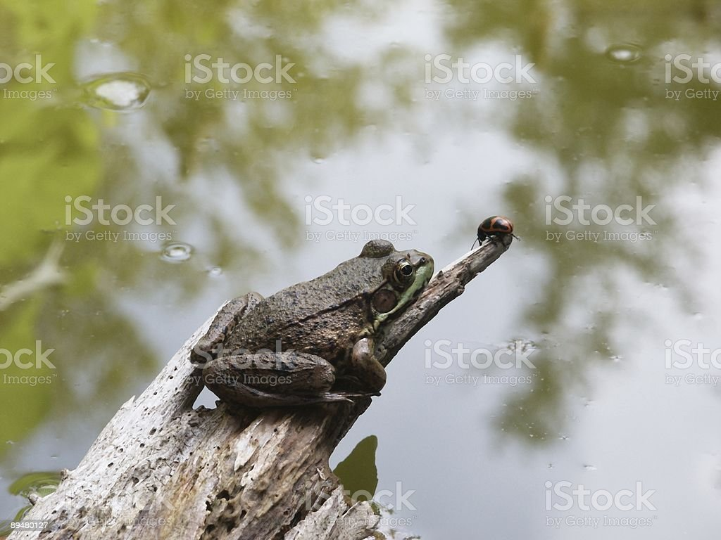 Frog on driftwood with a milk weed beetle stock photo
