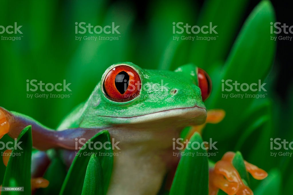 frog on grass with black background royalty-free stock photo