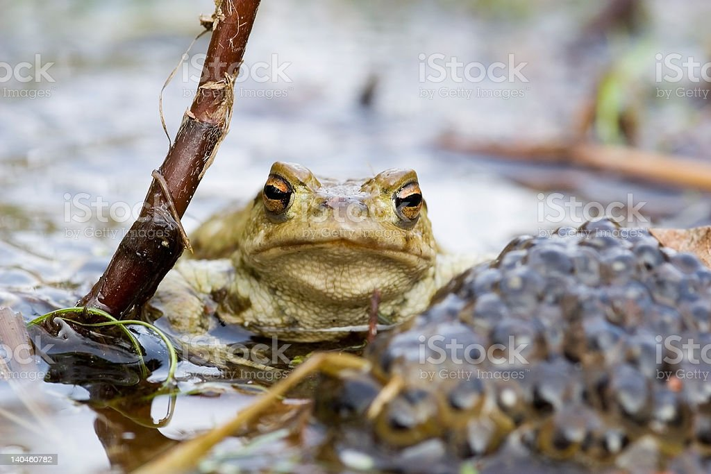 Frog on guard royalty-free stock photo