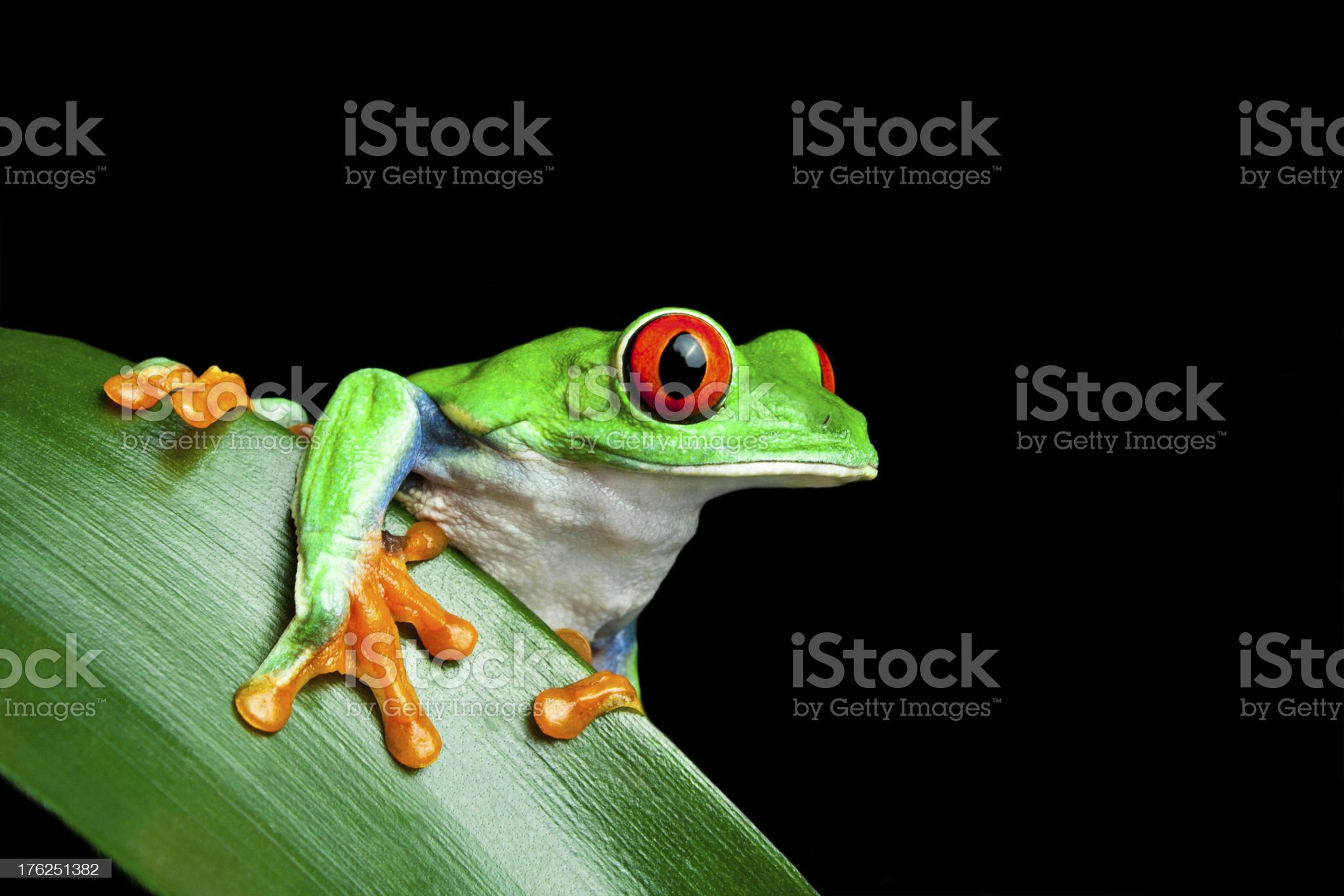 frog on leaf with black background royalty-free stock photo