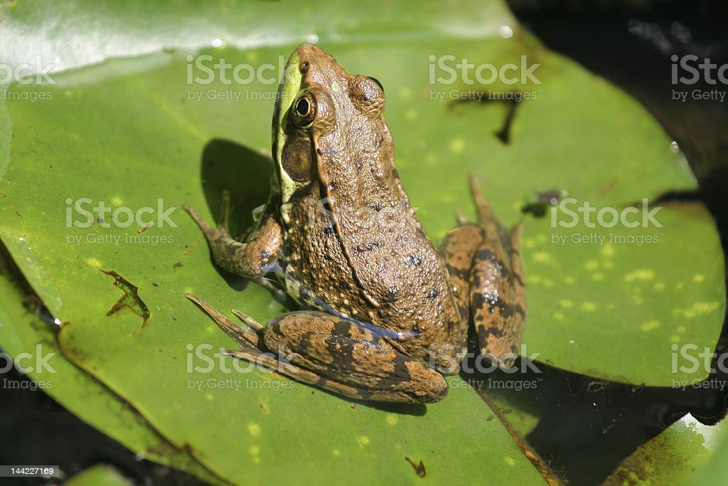 Frog on Lily Pad royalty-free stock photo