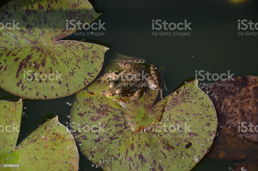 Frog On Lily Pads royalty-free stock photo