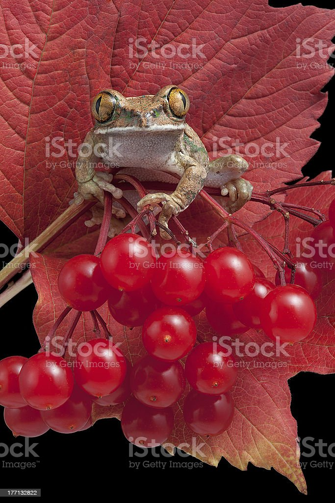 Frog on red berries stock photo