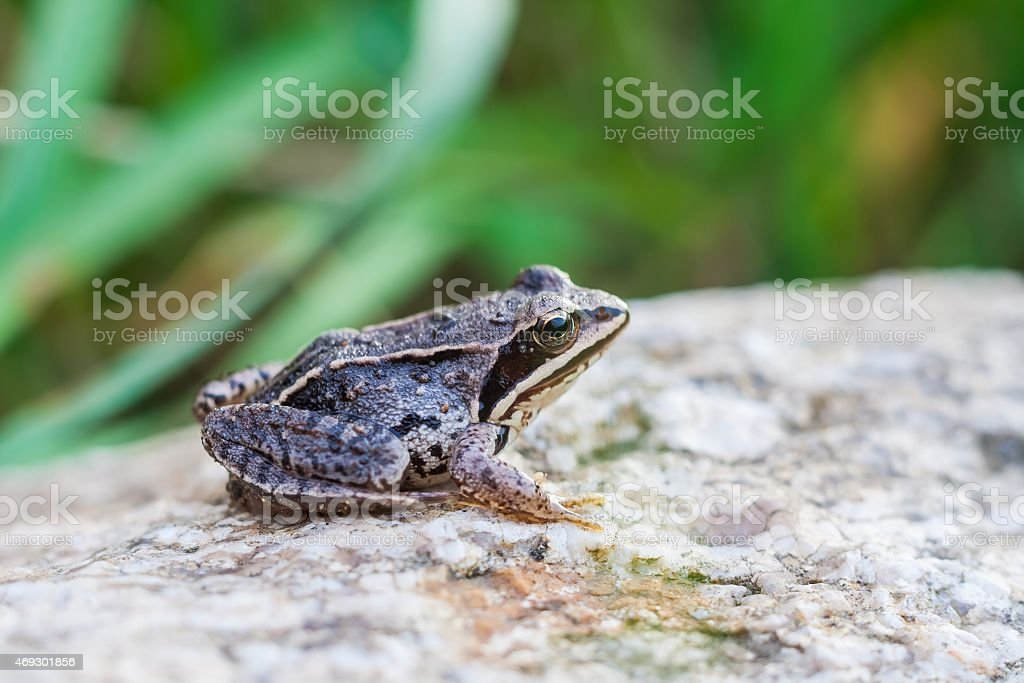 Frog on rock stock photo