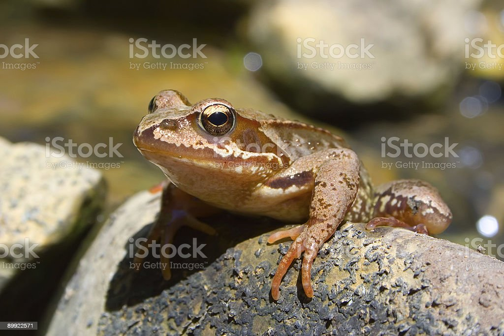 Frog on stone royalty-free stock photo