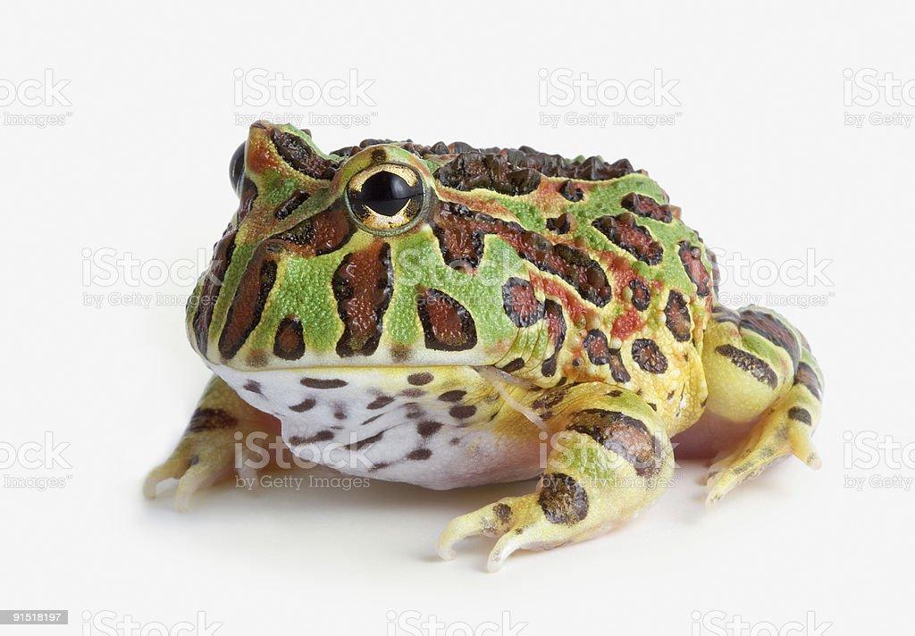 Frog on white background stock photo