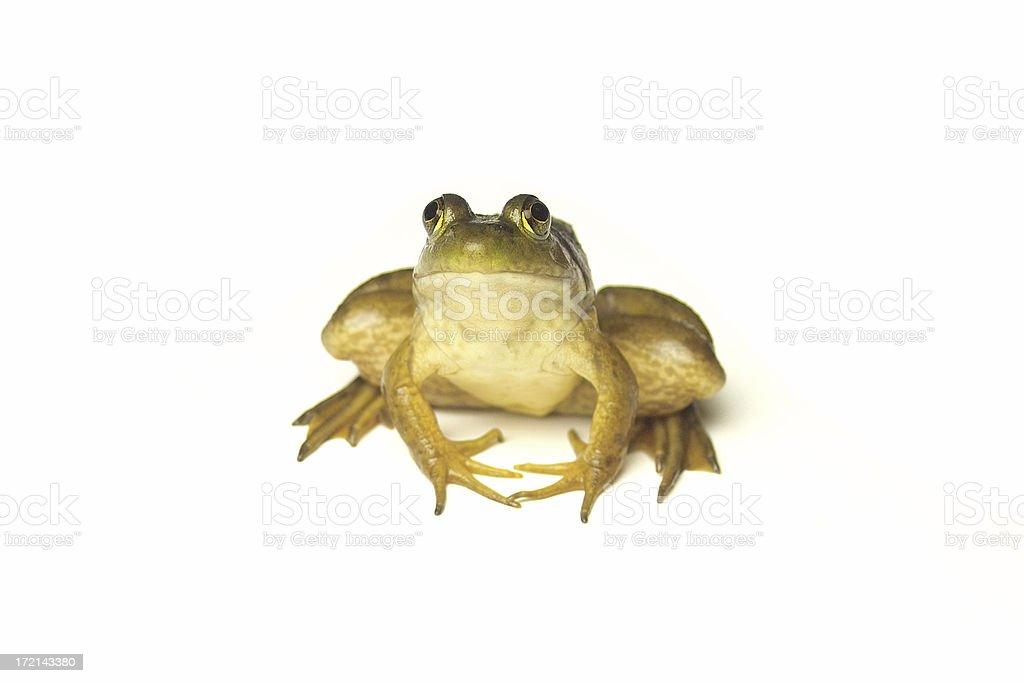 Frog on White stock photo