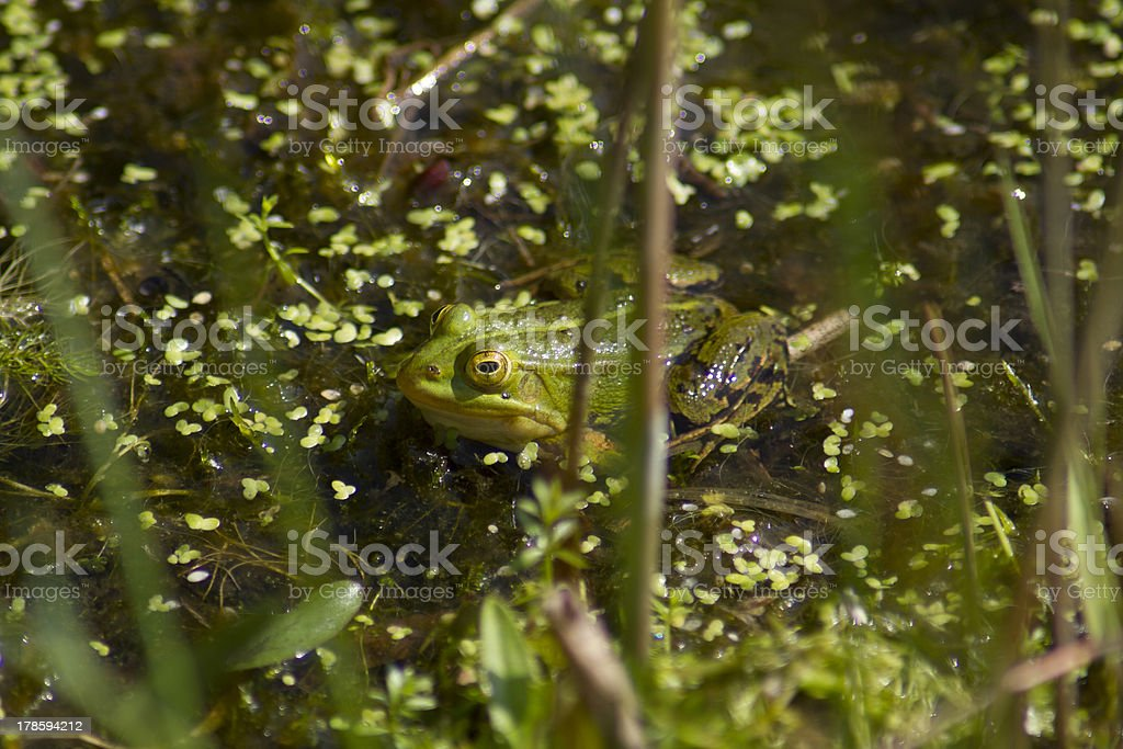 Frog (common european green) stock photo