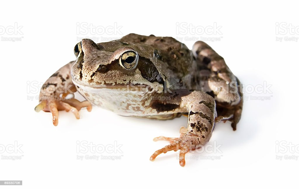 frog (isolated, clipping path) royalty-free stock photo