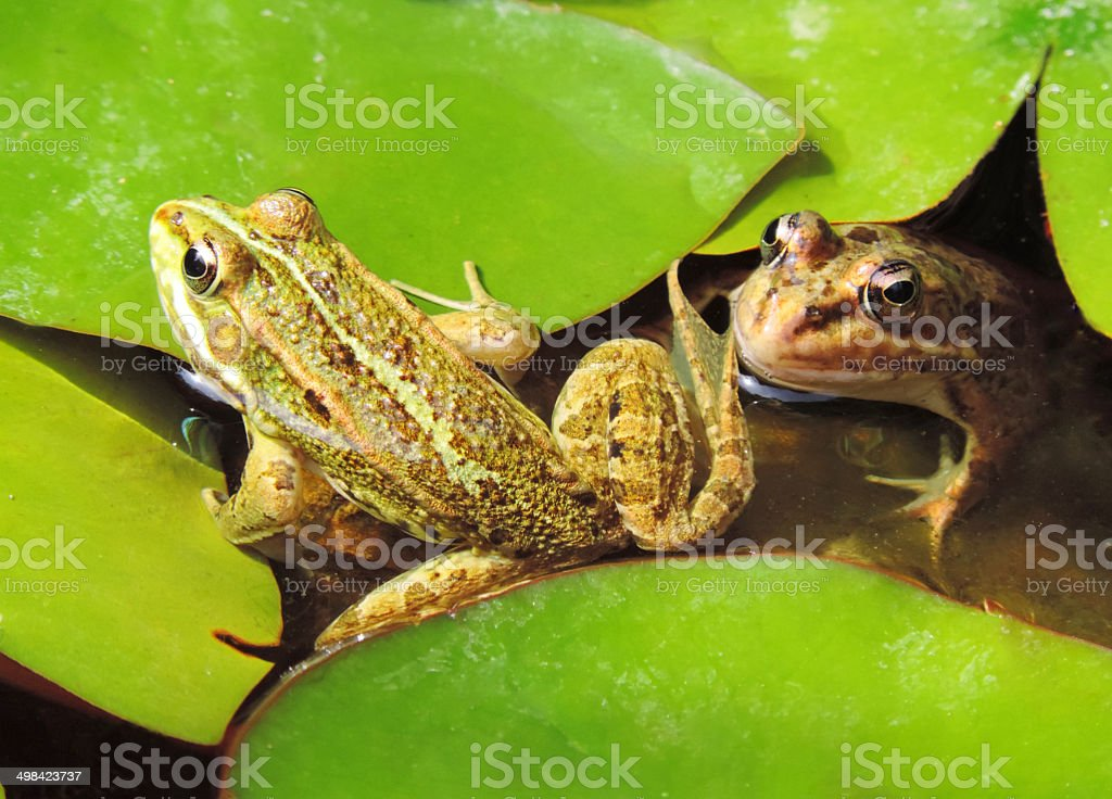 Frog pond stock photo