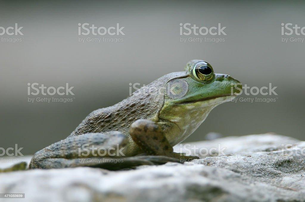 Frog Profile royalty-free stock photo
