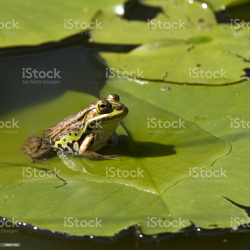 Frog read to jump for diner royalty-free stock photo