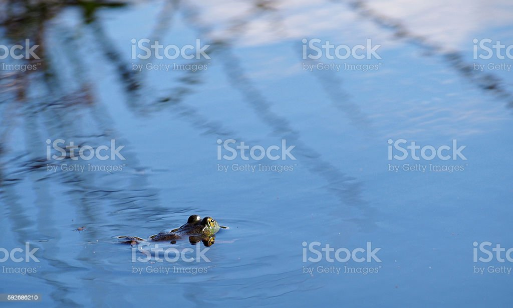 Frog Relaxing in a Marsh on Vancouver Island, Canada stock photo
