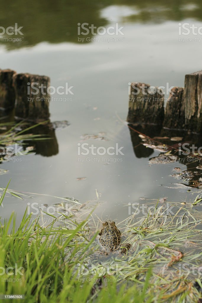 frog resting in water bed stock photo