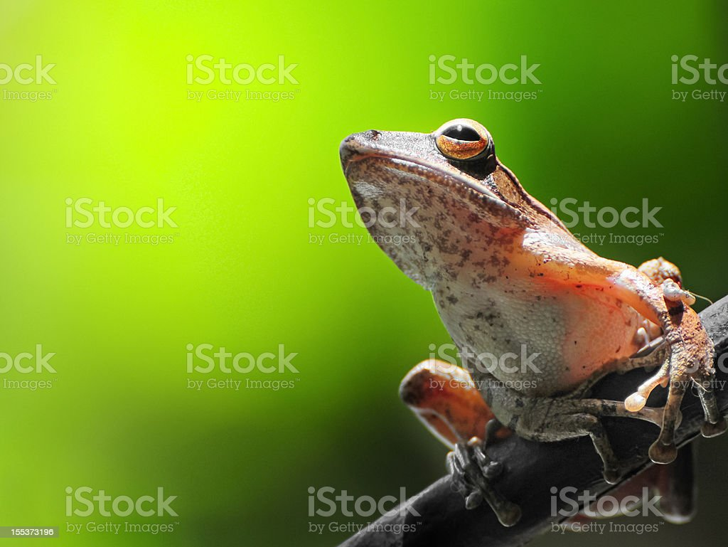 Frog resting on a branch stock photo
