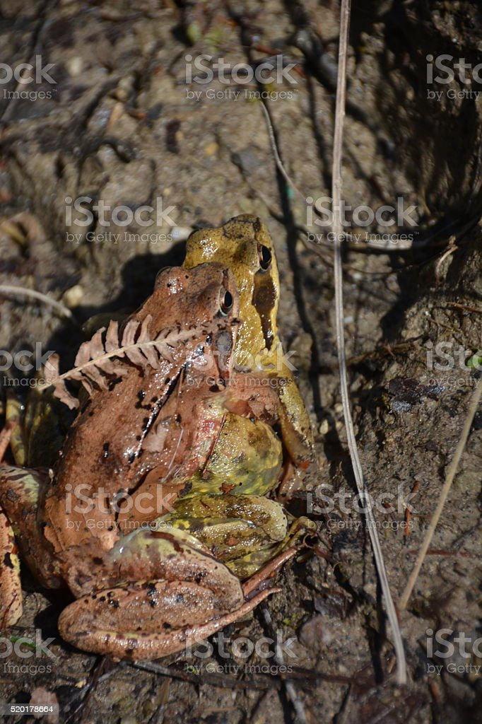 Frog Sex Amphibian stock photo