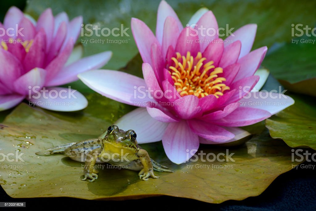 Frog sitting between pink water lillies. stock photo