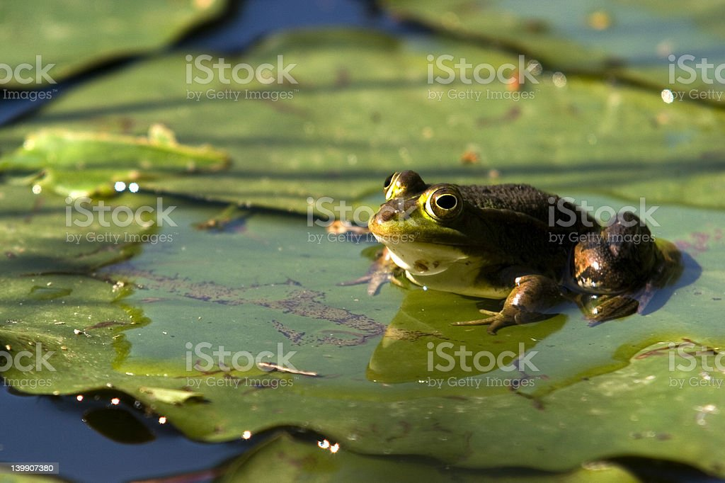 Frog sitting on a lilly pad royalty-free stock photo