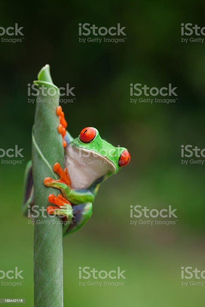 frog (agalychnis callidryas) sitting on a plant royalty-free stock photo